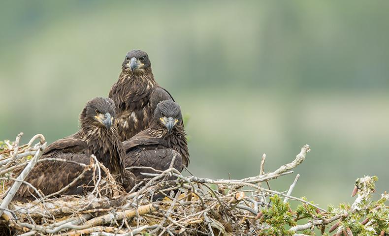 bald eagle population