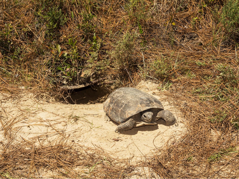 Biodiversity conservation efforts help gopher tortoise